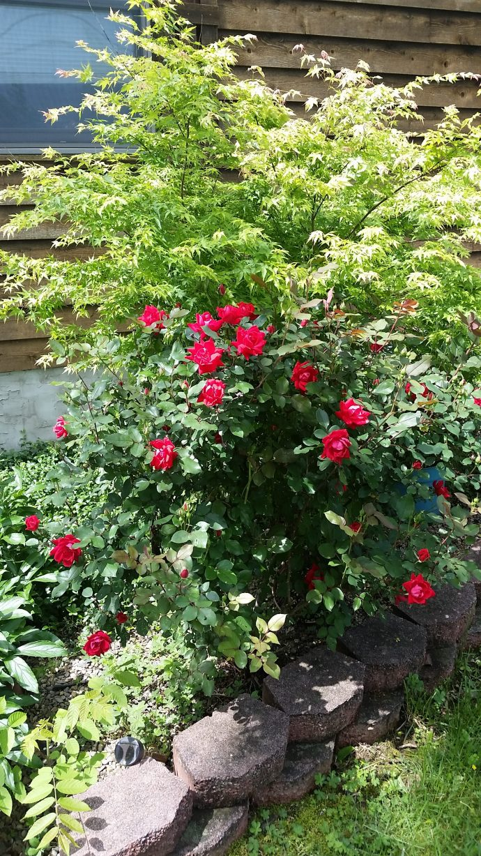 My rose bush